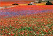 Spring flowers Namaqualand